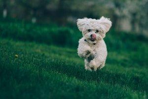 A Bichon Frise jumps on a green lawn.