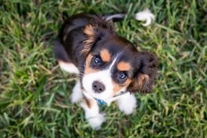 A Cavalier King Charles Spaniel sitting on grass.