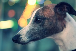 A close-up of a Greyhound dog.