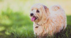A Maltese dog.