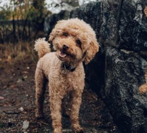 A poodle cocks its head as it stands next to a short stone wall.