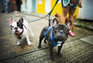 Two French Bulldogs on leash, out for a walk.