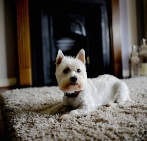 A west highland terrier rests on a carpet in front of a hearth.